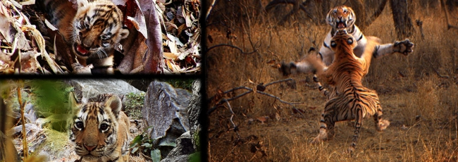 Tygr - špionáž v džungli (Tiger: Spy in the Jungle)
