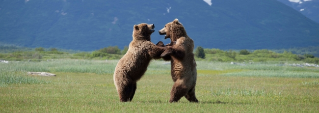 Medvědi grizzly na Aljašce (Great Bear Stakeout) — 1. série