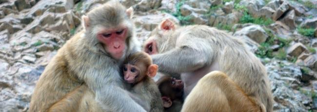 Opičí zloději (Monkey Thieves)